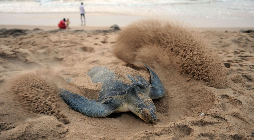 INDIA-ANIMAL-TURTLE
